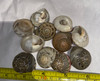 Large Japanese Button Shells