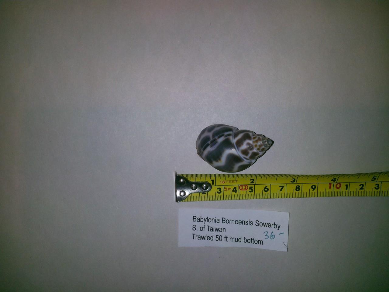 Babylonia Borneensis Sowerby