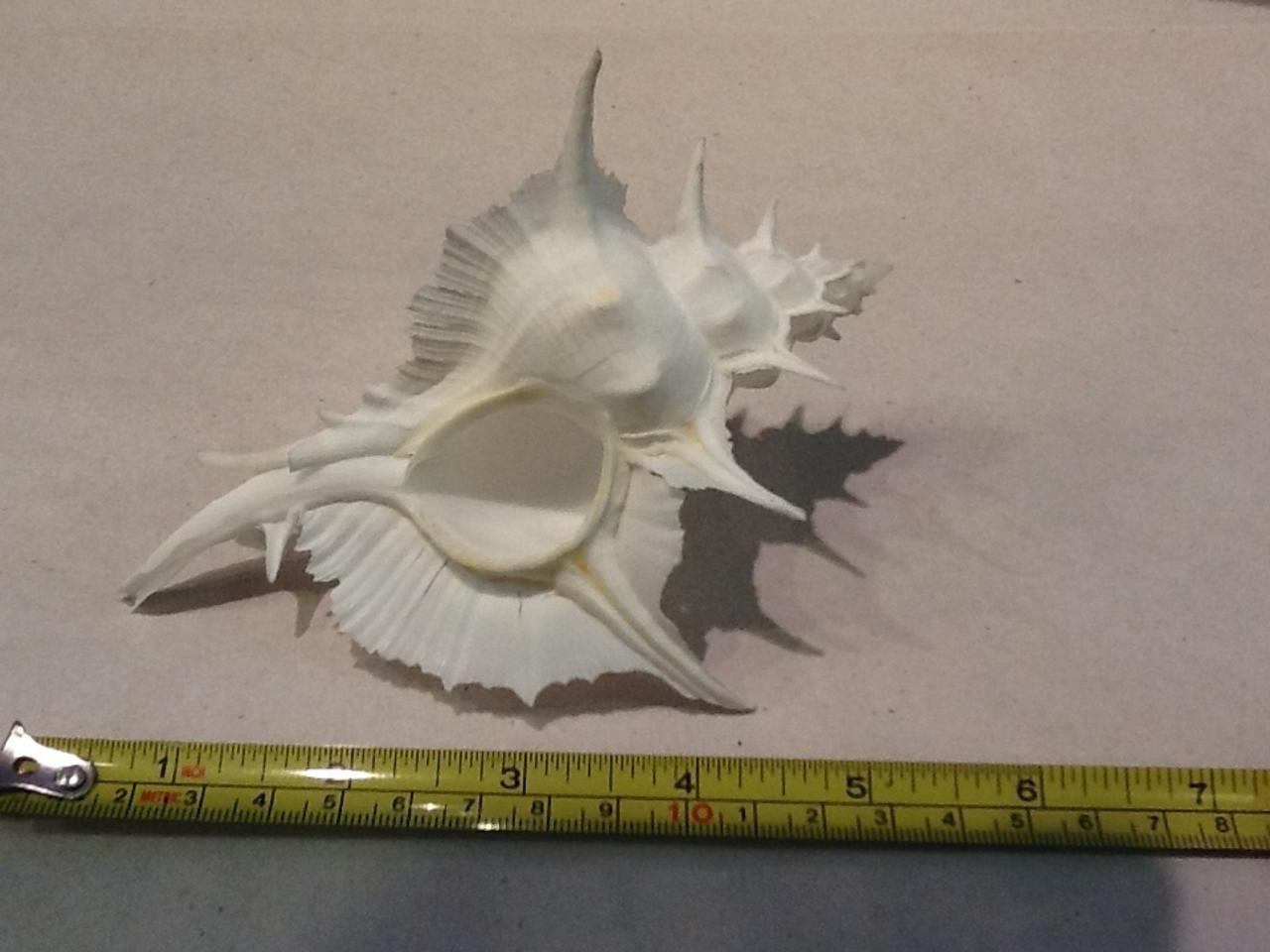 """Murex Indivia Albino (5.5"""")"""