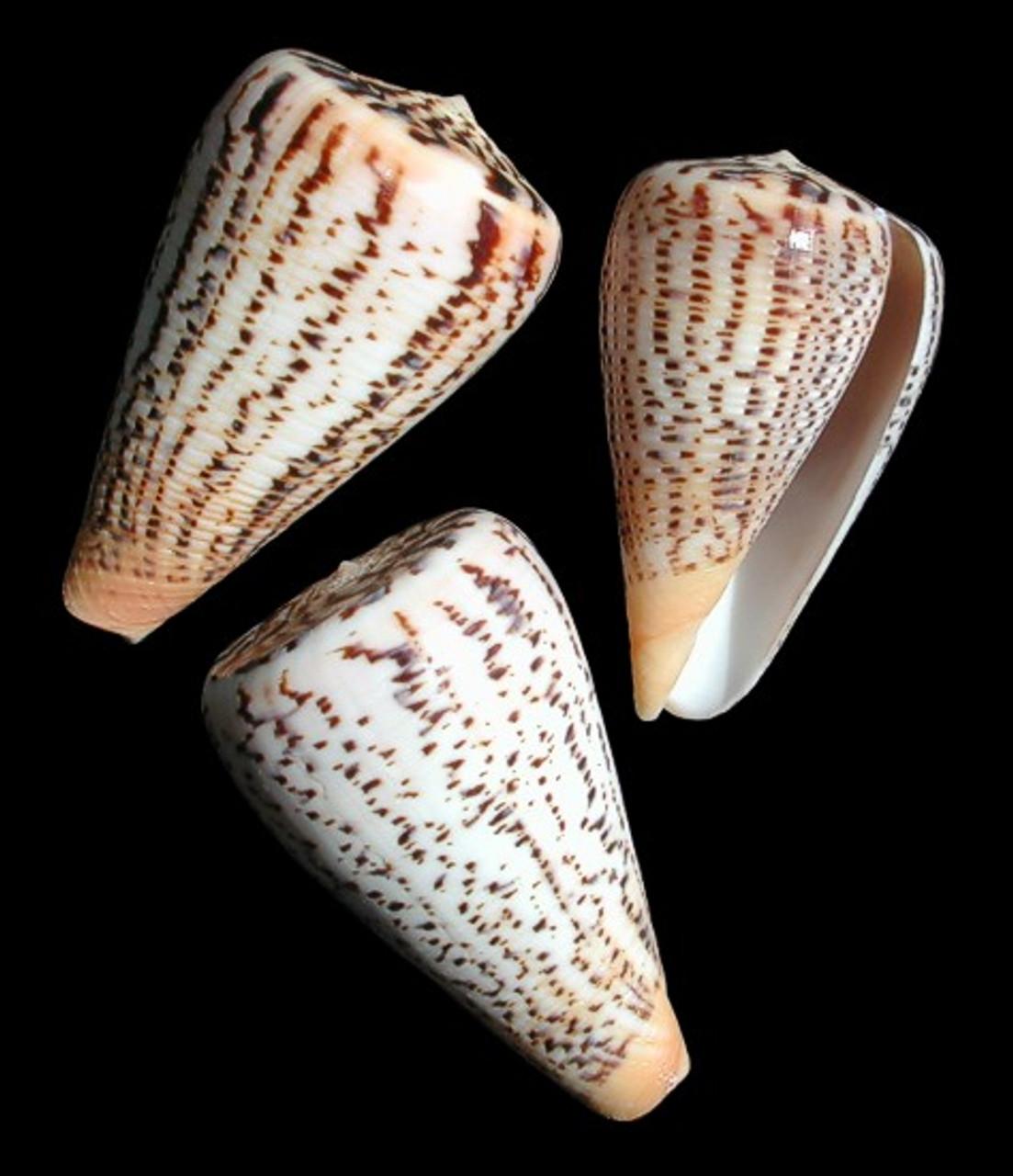 Conus Suratensis set of 2