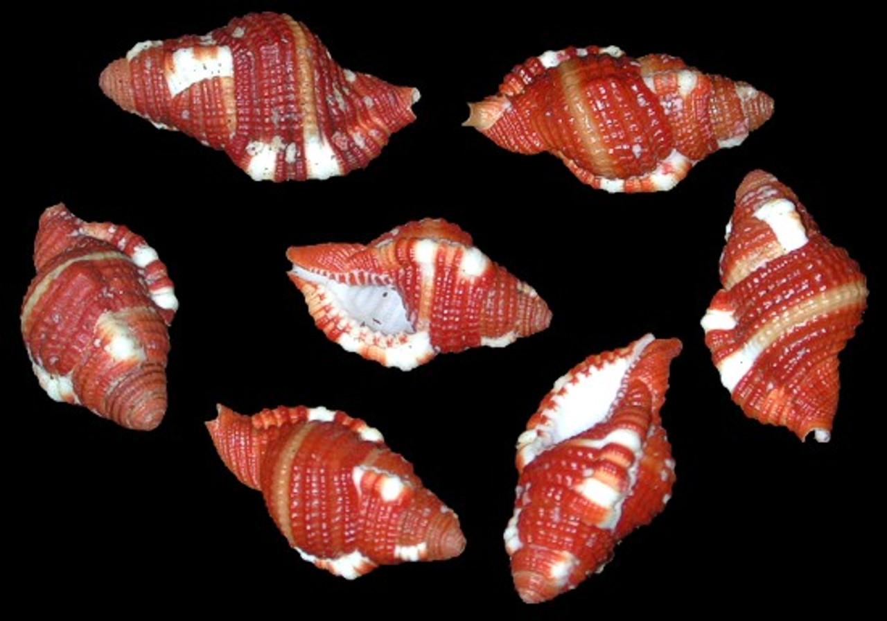 Cymatium Rubeculum Set of 3