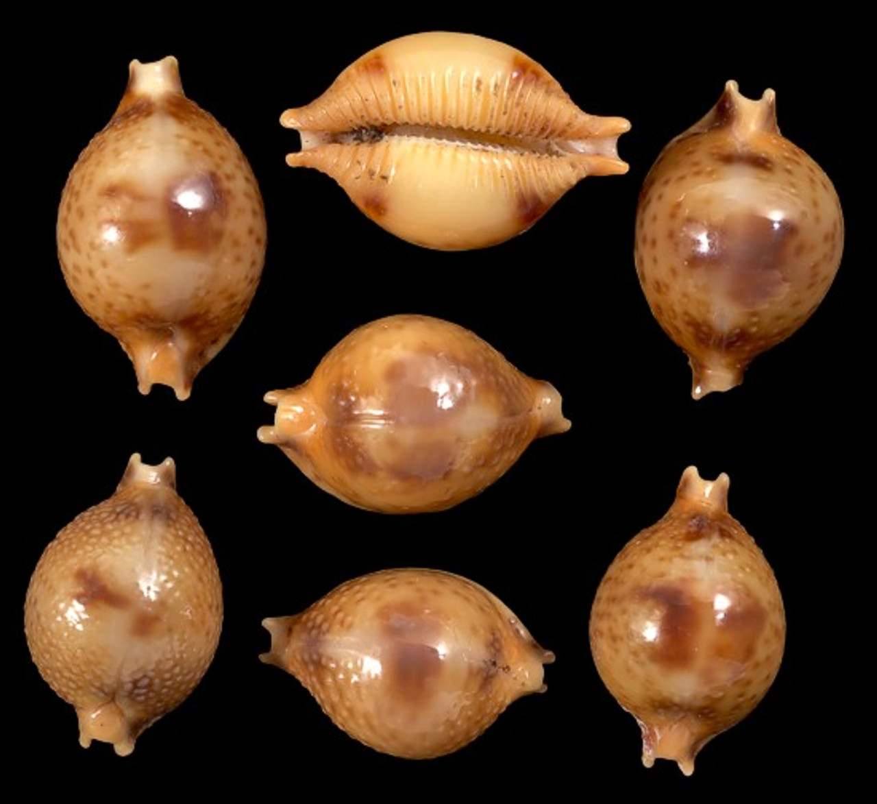 Cypraea Bistrinotata set of 10