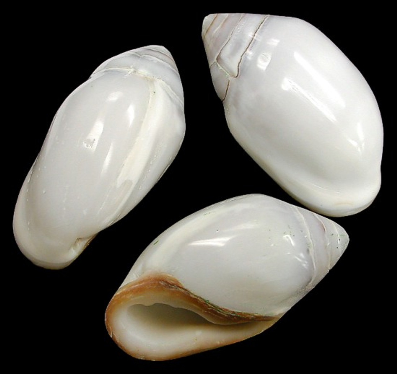 Ellobium Aurisjudae set of 2