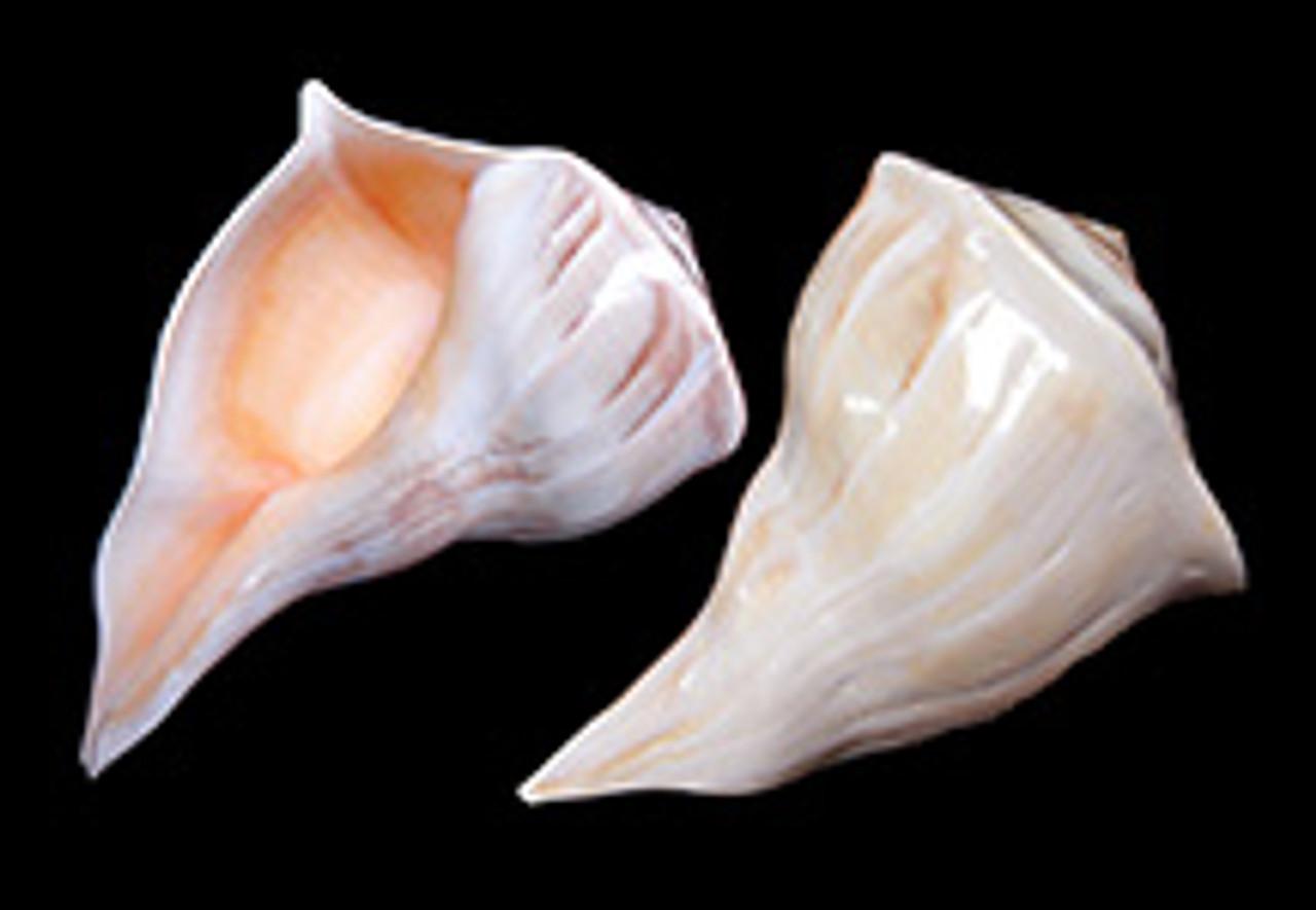 Left Handed Whelk