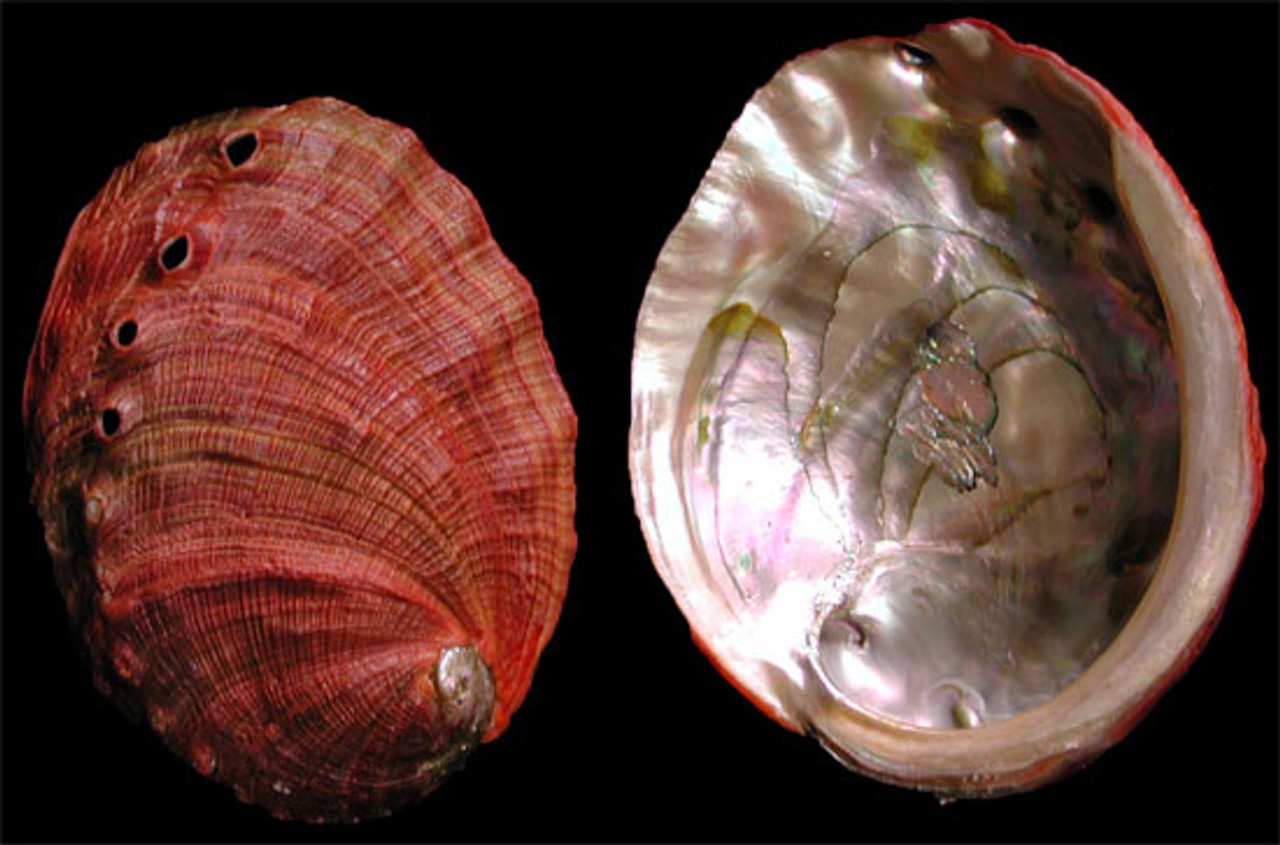 """Red Abalone 7-8"""""""