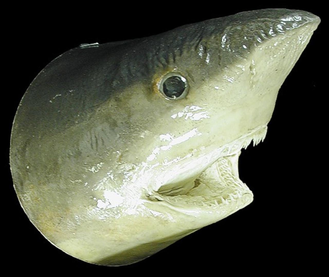 Real Shark Head