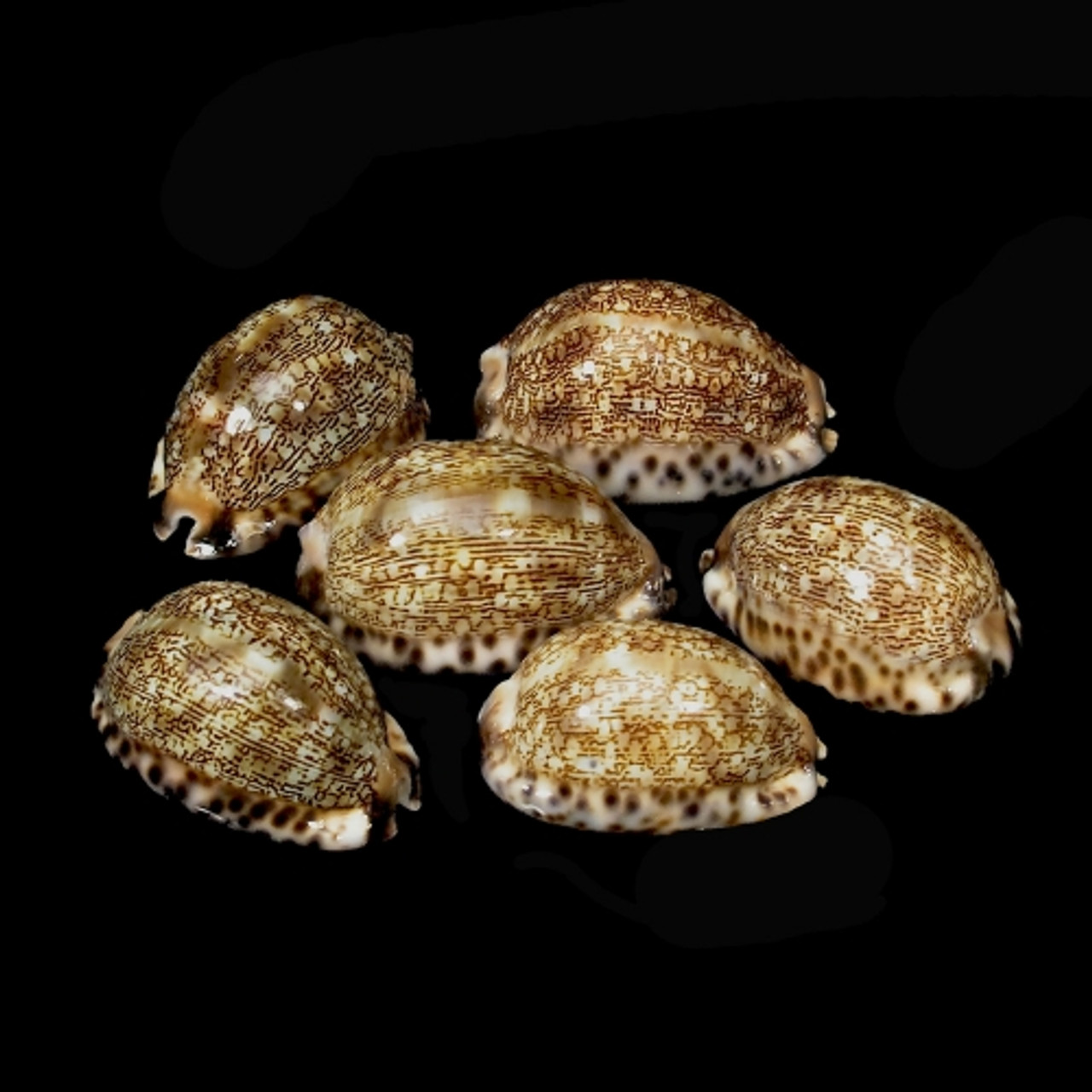 Arabica Cowrie set of 4