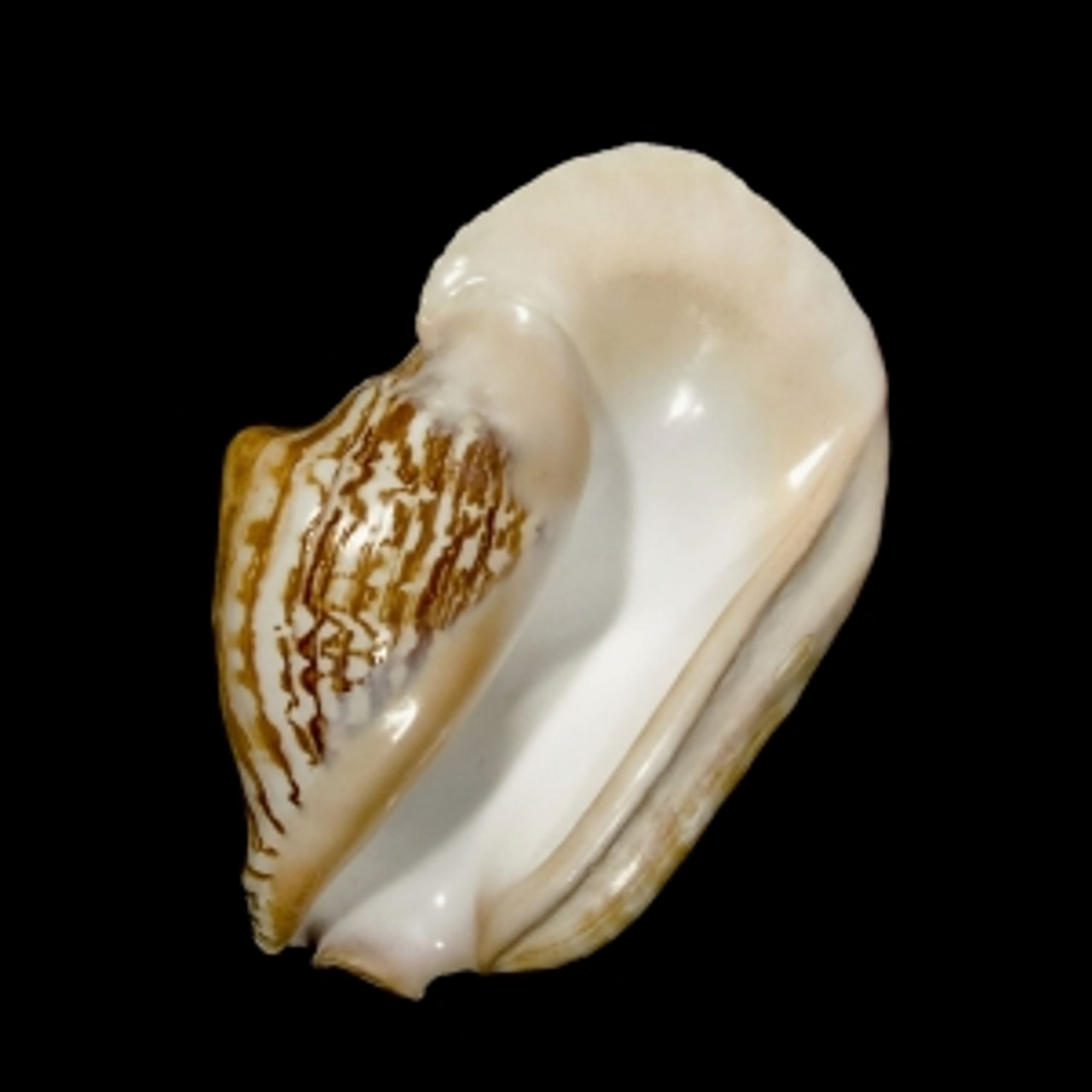 Wide Pacific Conch