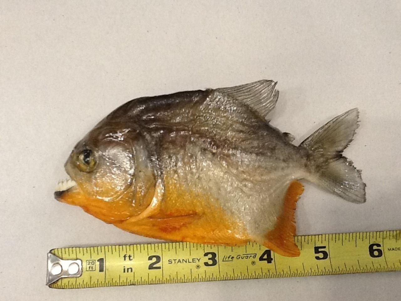 """Small Piranha 6-7"""""""