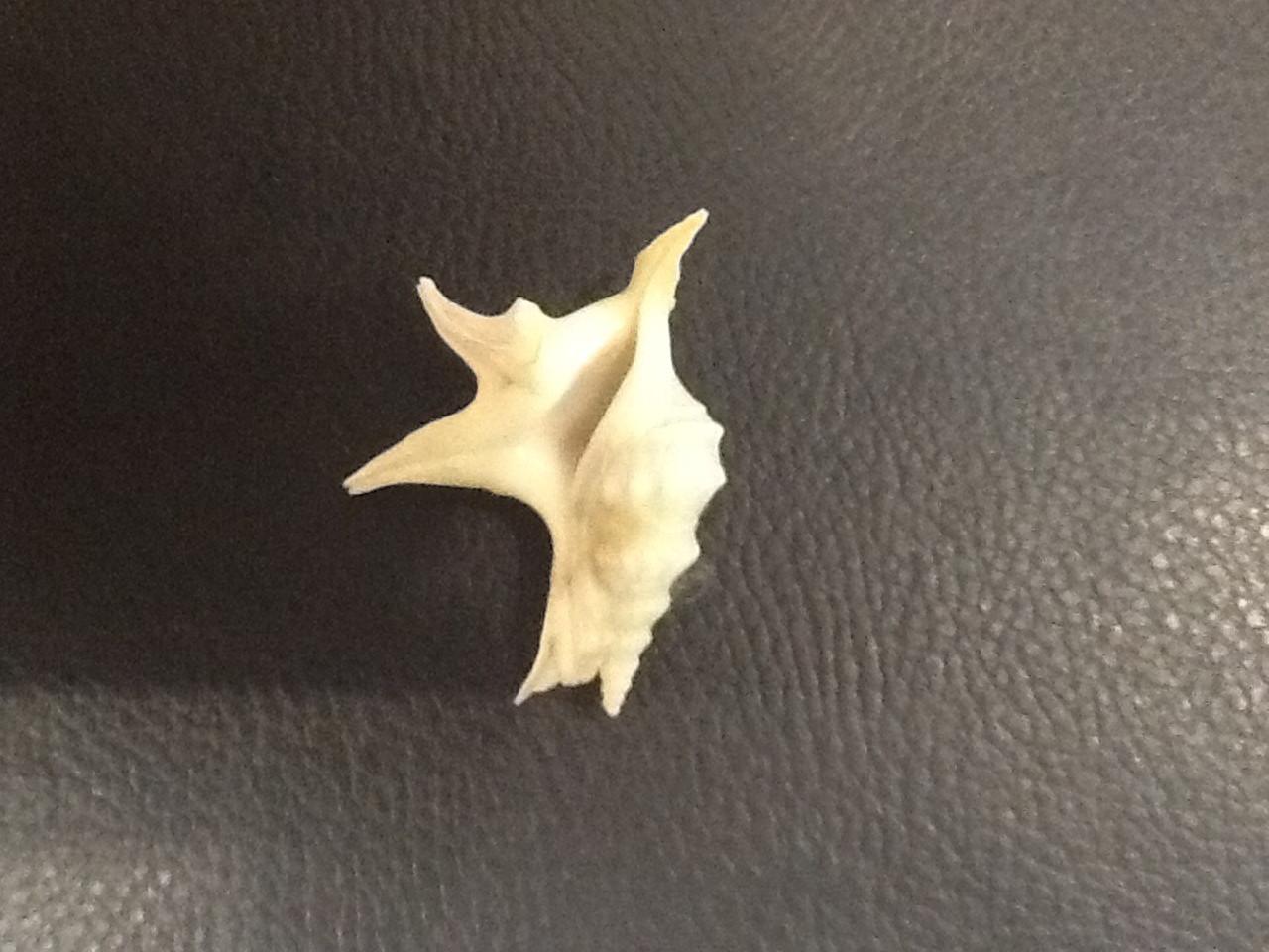 Aporrhaidae. Aporrhais pespelicani pespelicani