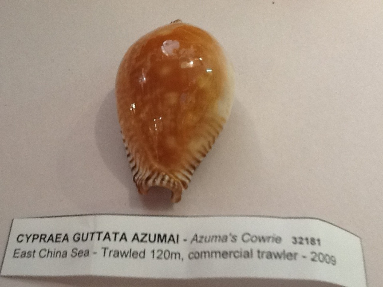 Cypraea Guttata (great spotted Cowrie)  Very Rare! 45mm