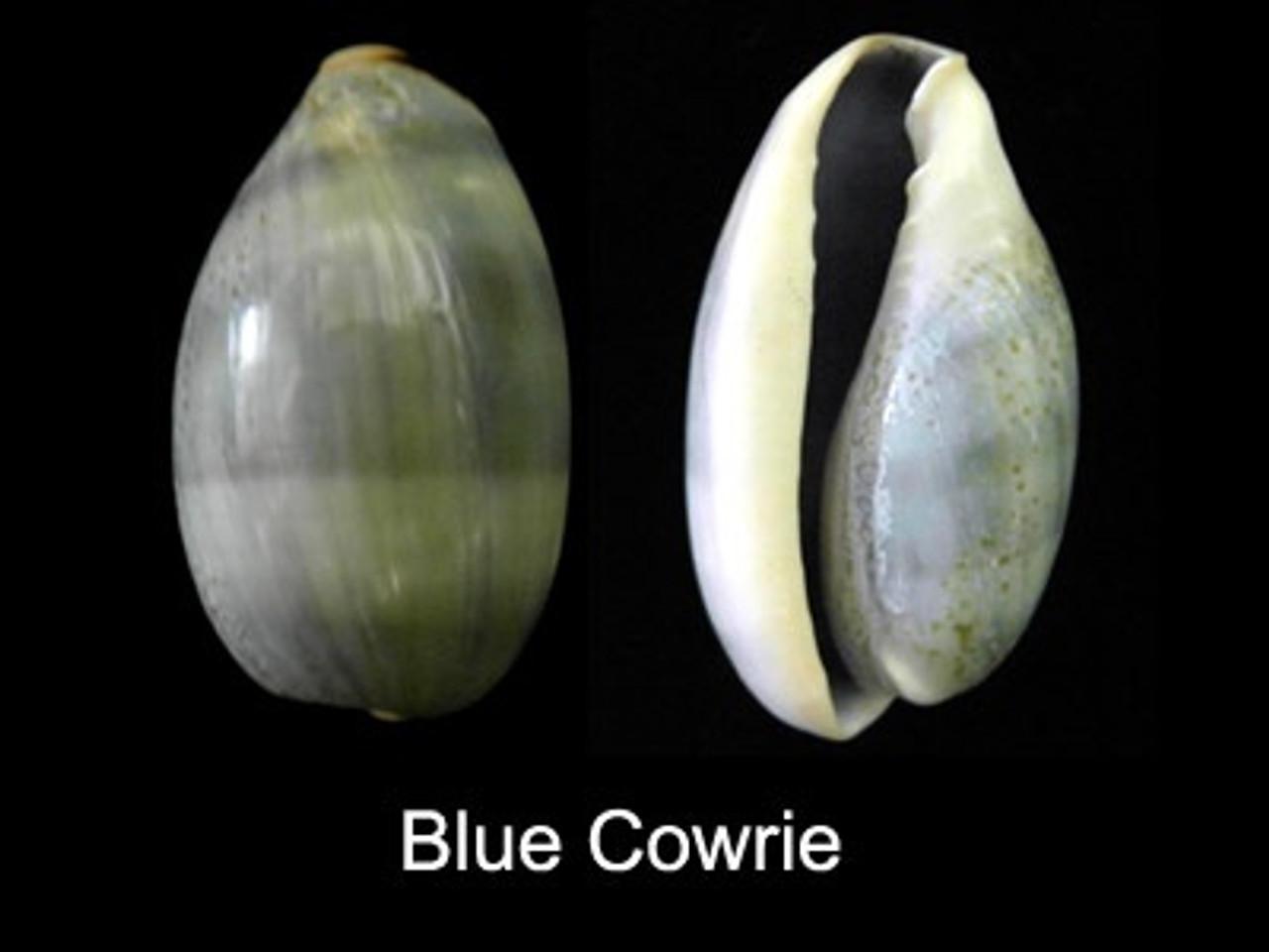 Cypraea Errones set of 5 shells