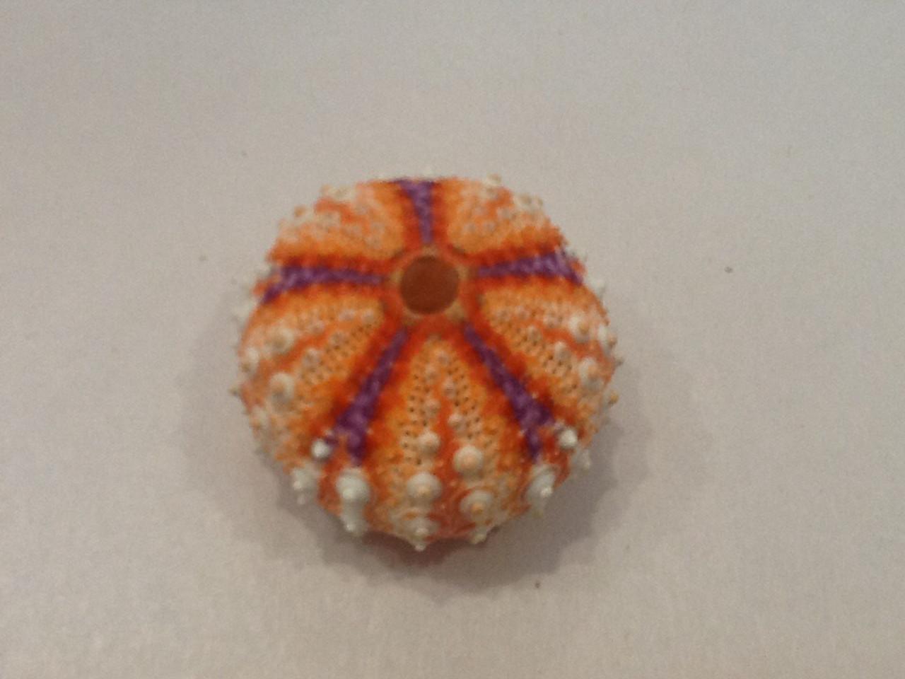 Deep Water Sea Urchin Large