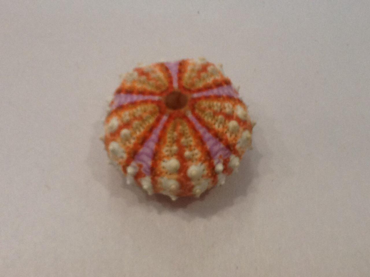 Dear Water Sea Urchin Medium Size