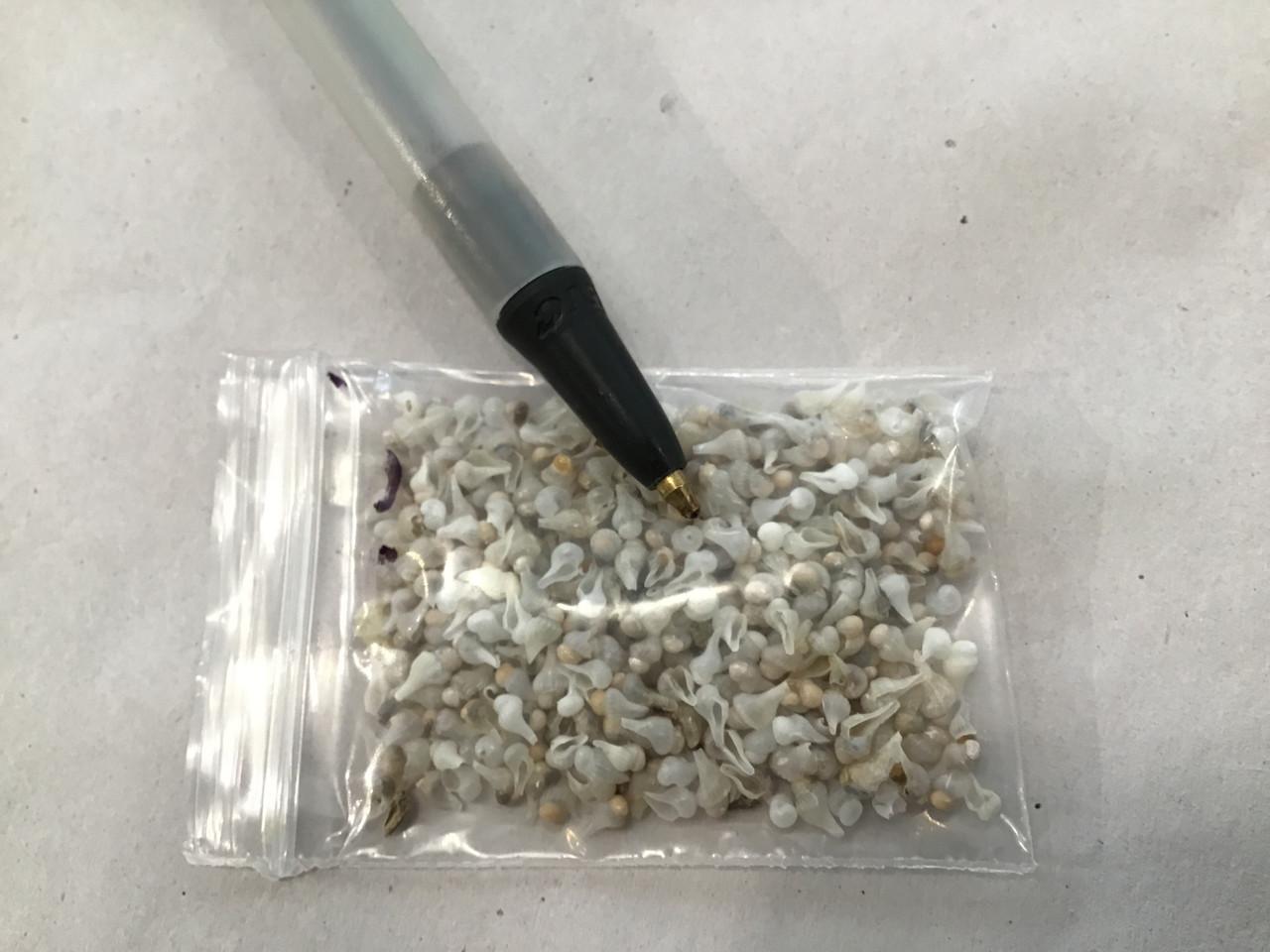 Tiny immature white whelk shells