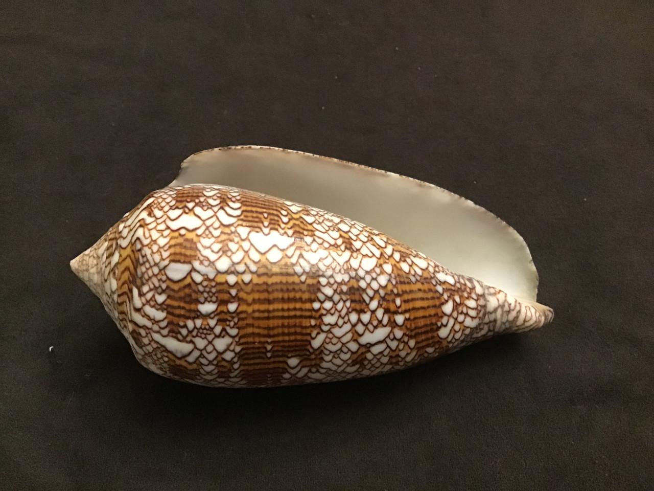 Conus Textile Giant