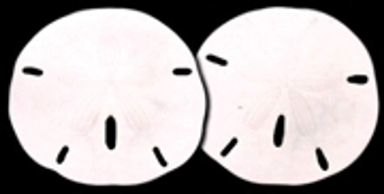 """Round Sand Dollar Extra Large 4-5"""" pack of 10"""