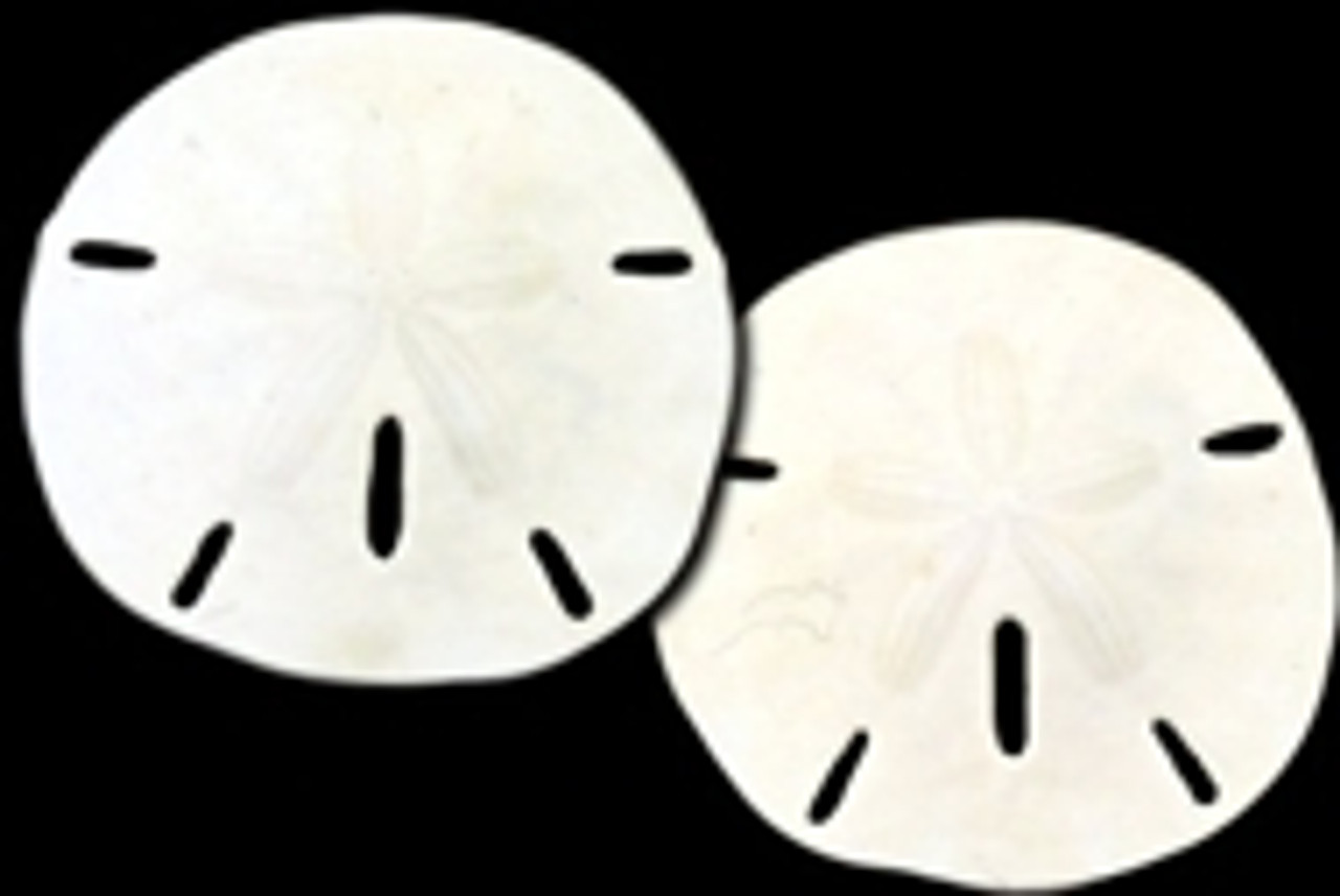 "Round Sand Dollar 3-3.5"" pack of 10"