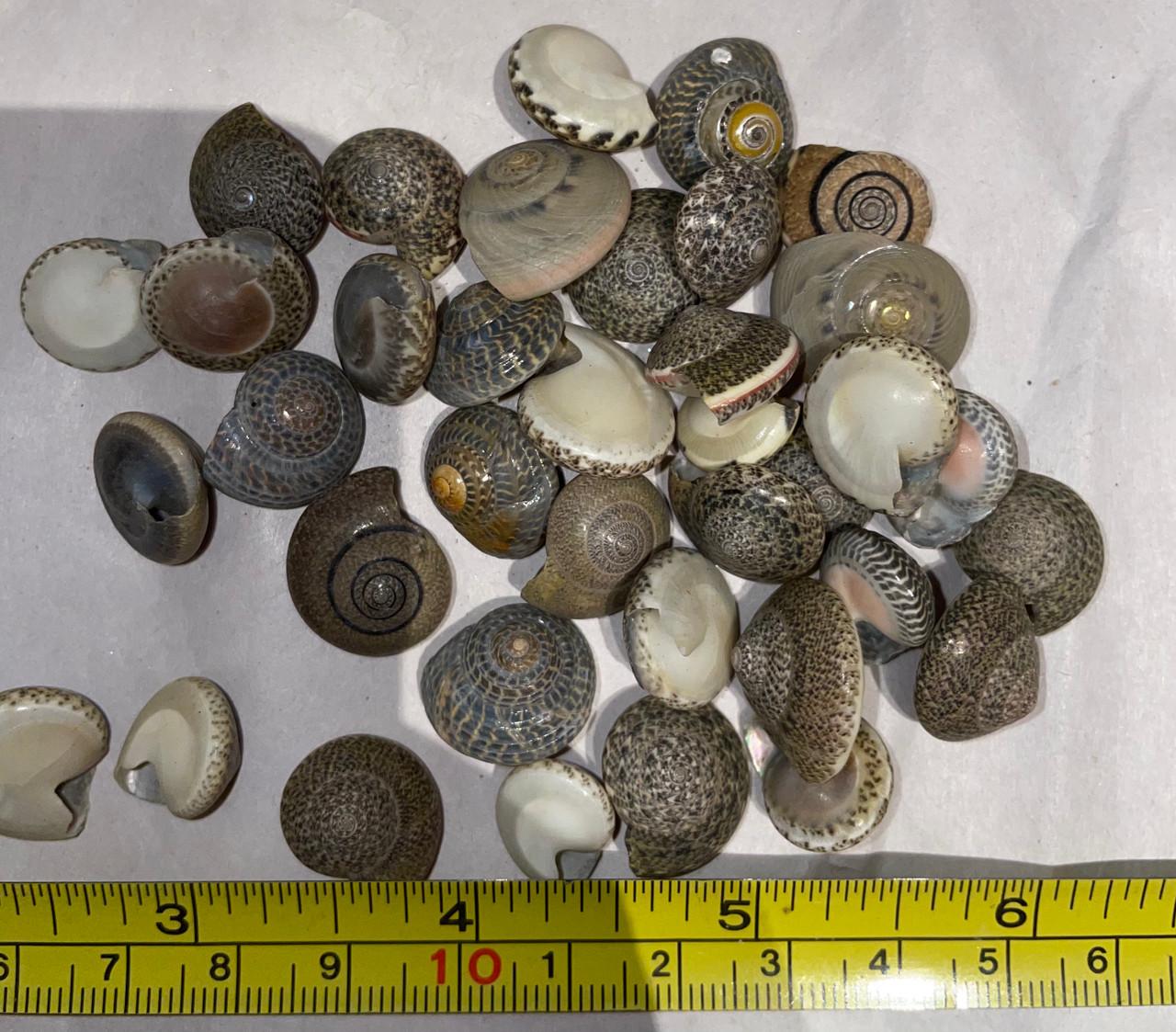 Japanese Button Shells