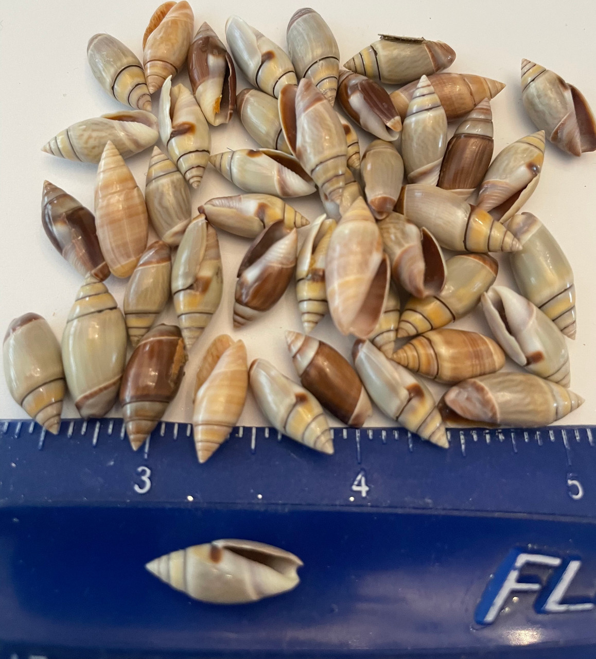 Mexican Brown Olive Shells about 1'