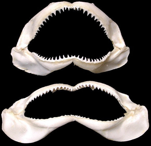 Grade A Shark Jaws