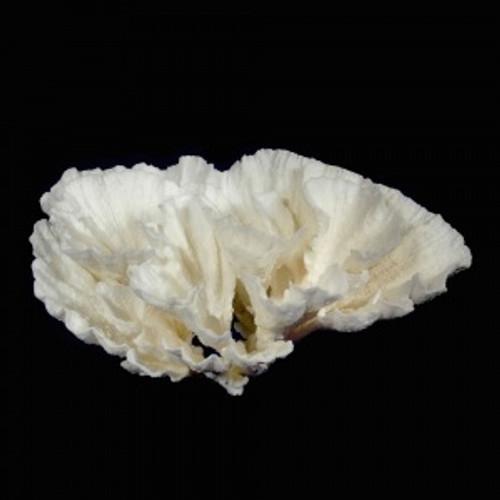 Poca Coral (Montipora sp)