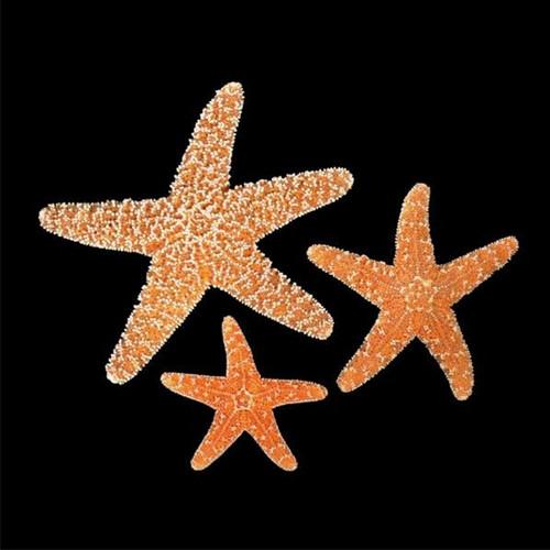 Sugar Star Fish set of 5