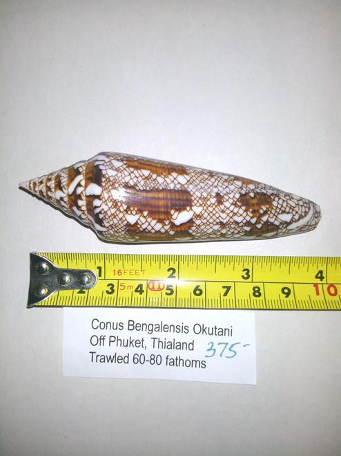 Conus Bengalensis Okutani