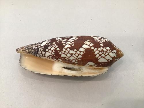 Conus Aulicus