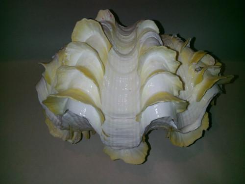 Tridacna Scuamosa