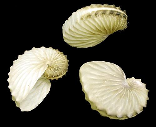 Argonauta Hians
