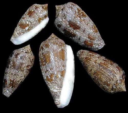 Conus Textile Set of 3