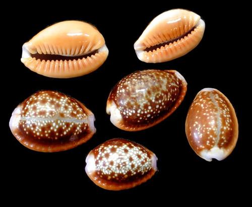 Cypraea Helvola set of 10