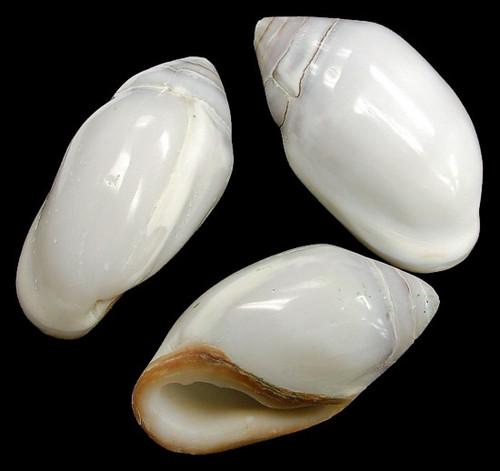 Ellobium Aurisjudae set of 2