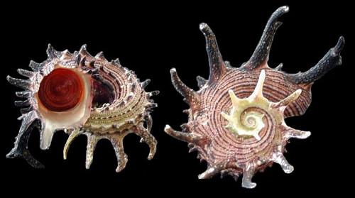 Angaria Delphinula