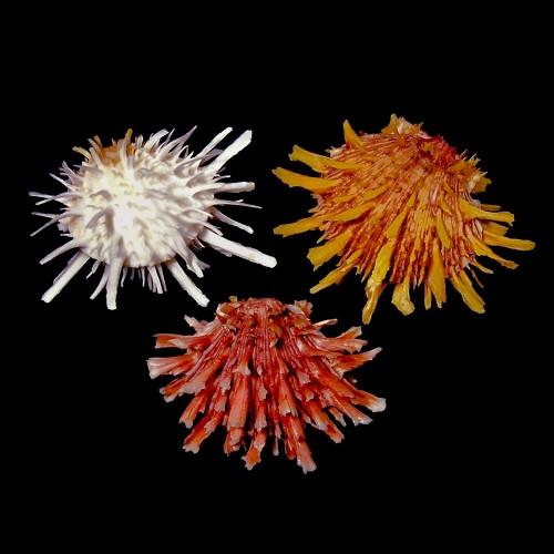 Spiny Oyster/ Spondylus Princeps
