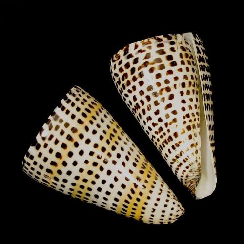 Lettered Cone / Conus Litteratus Set of 3