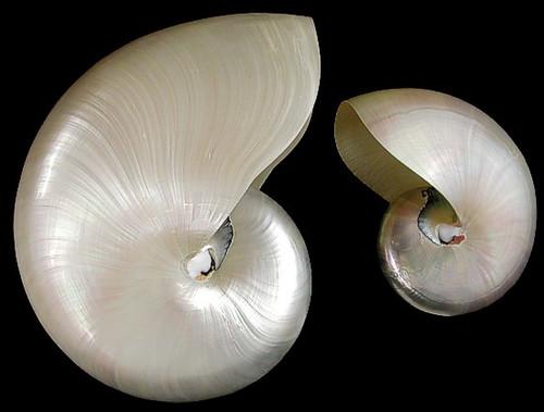 Pearlized Nautilus