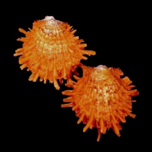 Orange Spiny Oyster / Spondylus Barbadus
