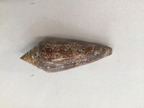 Conus  Gloriamaris Sogod Cebu