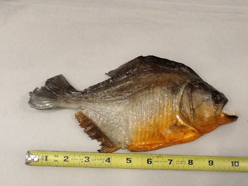Giant Taxidermy Piranha  10-11""