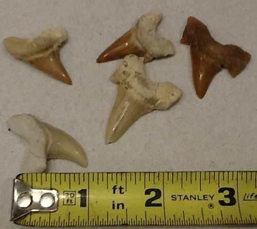 Fossil Shark Teeth pack of 5