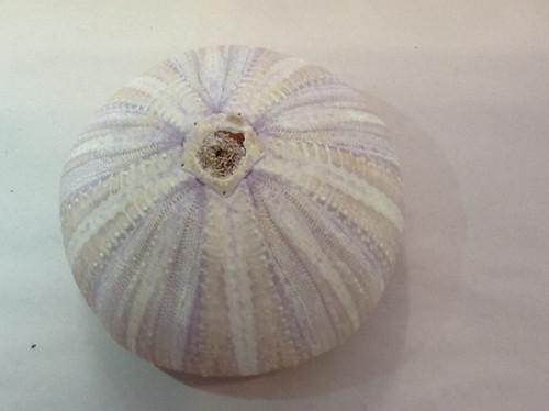 "Giant Purple Sea Urchin 4"""