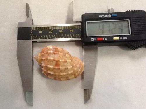Harpa Kajiyamae rehder 47.2mm
