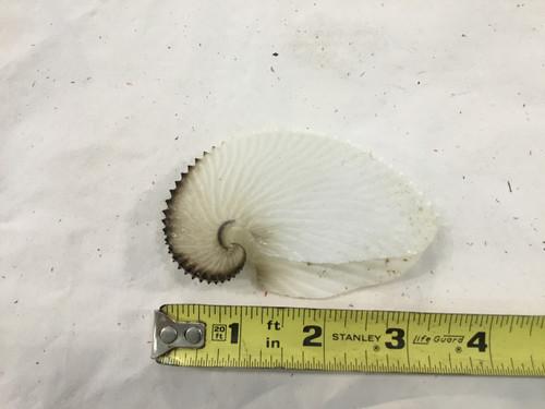 """Paper Nautilus 3.75"""""""