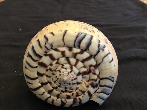 Conus Betulinus Giant