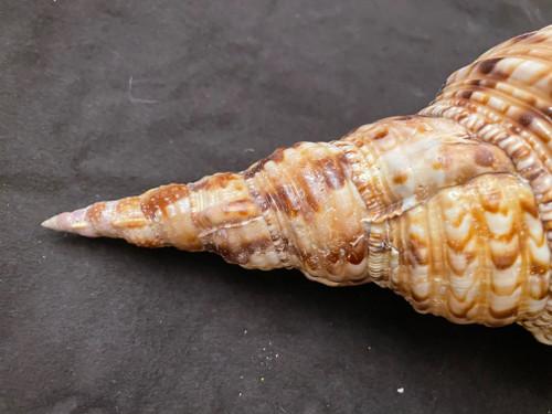 """Pacific Triton Specimen Shell  16-17"""""""