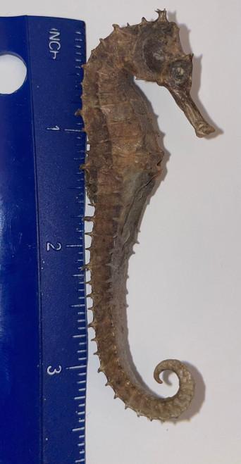 X Large Sea Horse