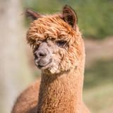 Is alpaca wool humane?