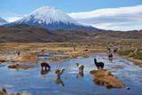 Alpacas! Myths and Facts